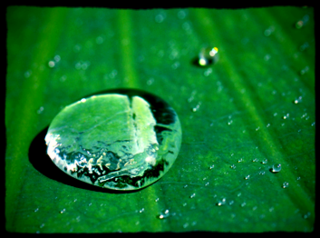 蓮の葉の撥水力