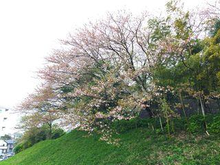 Sakura4-13